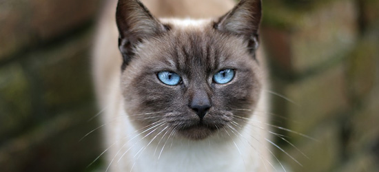 siamese cat with blue eyes face